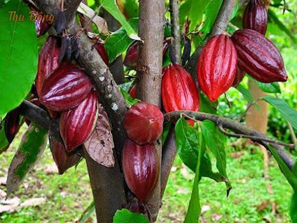 Cacao Mười Cương
