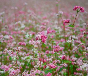 Hoa kiều mạch rực rỡ vào tháng 11