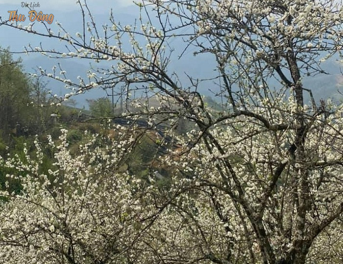 Hoa mận nở trắng cả núi rừng