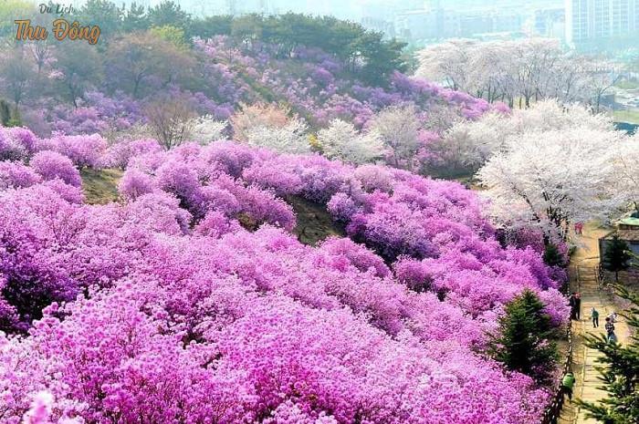 Mùa hoa anh đào rực rỡ vào mùa xuân